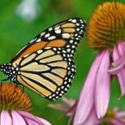 Monarch on Echinacea