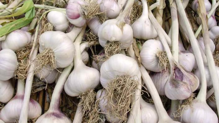 Hardneck Garlic Bulbs