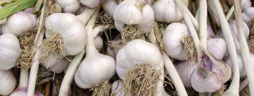 Hardneck Garlic Bulbs