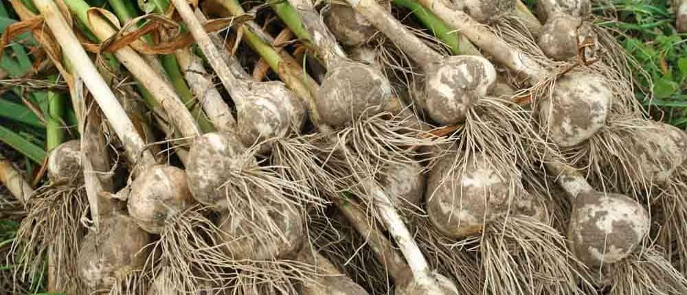 Curing Hardneck Garlic