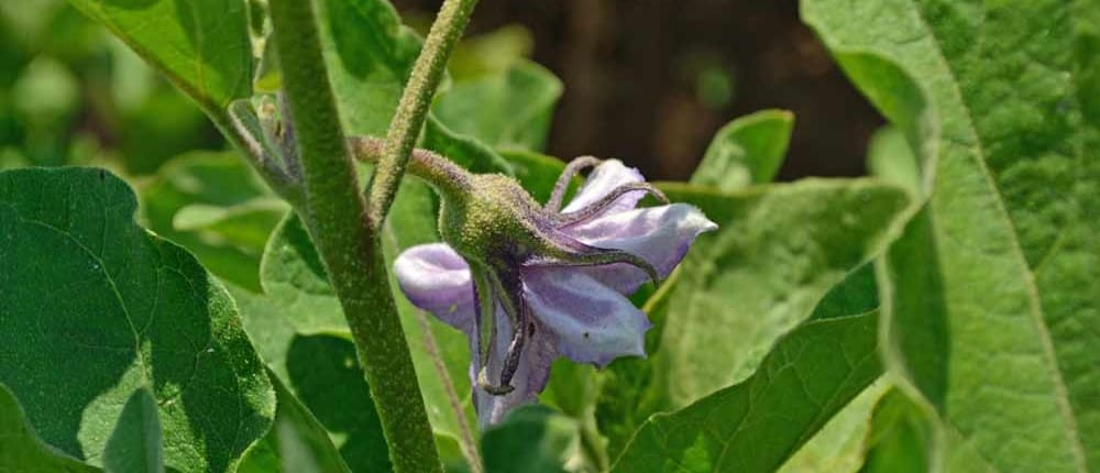Heirloom Eggplant Blossom