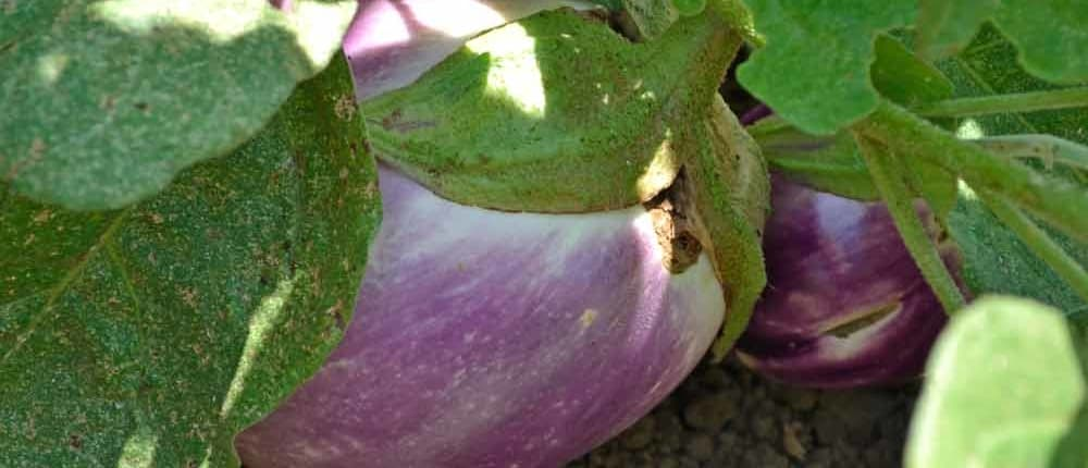 Mature Heirloom Eggplant