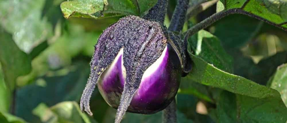 Young Heirloom Eggplant