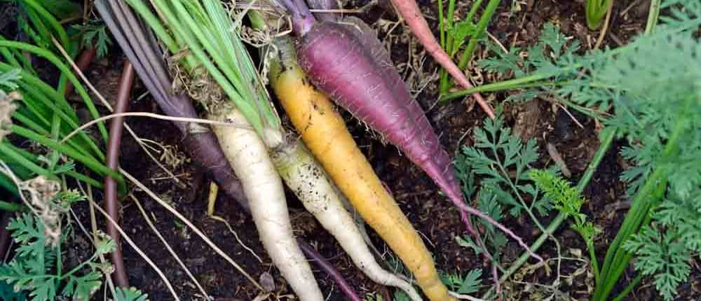 Heirloom Kaleidoscope Baby Carrots