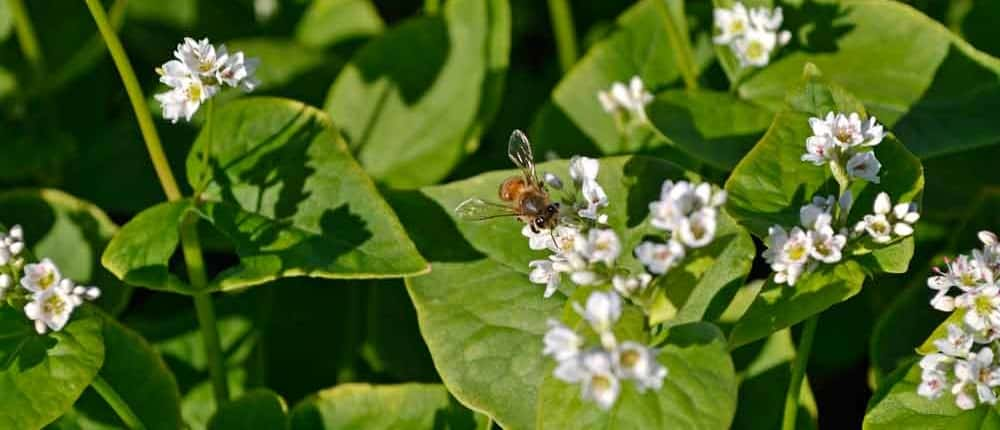 Heirloom Buckwheat as trap crops