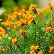 Heirloom Marigold flowers as trap crops
