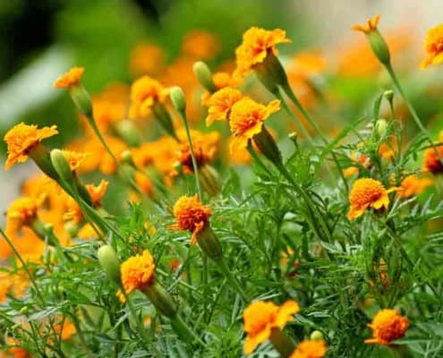 Heirloom Marigold flowers as trap crops