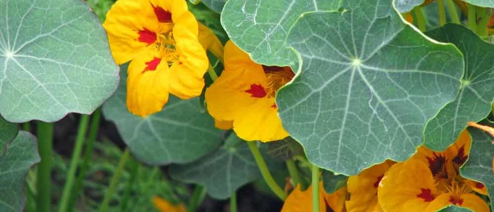 Heirloom Nasturtium flowers as trap crops