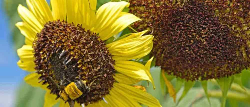 Heirloom Sunflower as trap crops