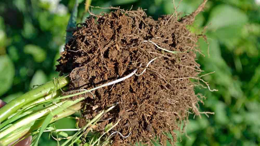 Roots Build Soil Organic Matter